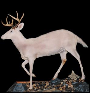 Albino Buck